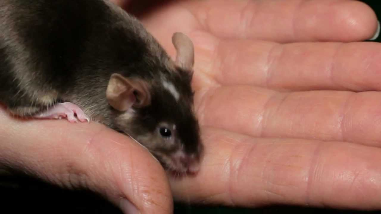 фото игольчатая мышь