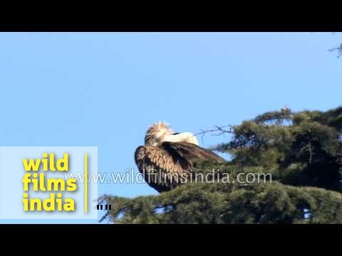 Himalayan Griffon Vulture and Steppe Eagle in the Himalaya