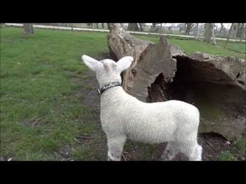Dudley the Lamb