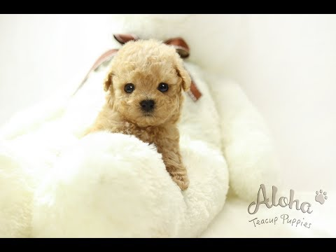 Teacup Toy Poodle Puppies For Sale [Muffin] - Aloha teacup puppies