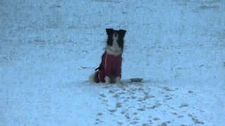 Border Collie Lucy Playing in Snow ルーシーの雪遊び