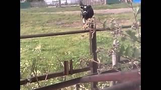 Мычит корова
