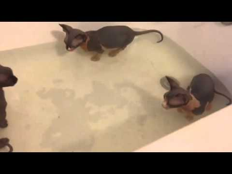 Bathtub full of hairless sphynx and Bambino kittens