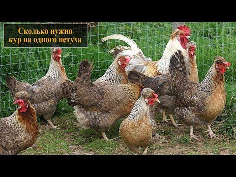 Сколько нужно куриц на одного петуха