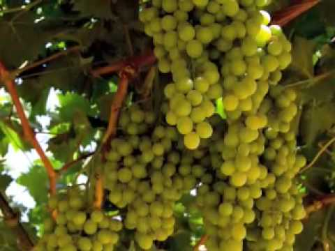 how to grow italian grapes