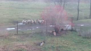 Игры собак. Вельш корги пемброк, французский бульдог и овцы.