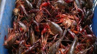 你永远不知道还能用这种方法抓龙虾 you never expected you can catch lobster in this way