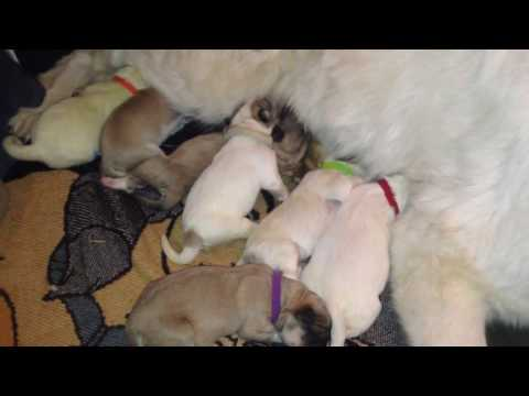 Great Pyrenees Give Birth to 9 Puppies