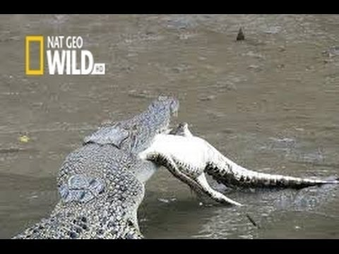 Predator Crocodile : [The Tragedy of The Kruger Crocodiles] | National Geographic Documentary | HD
