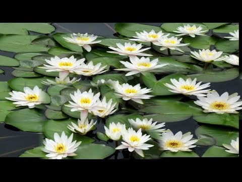 How to grow water Lily