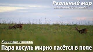 Пара косуль мирно пасётся в поле. Европейская косуля (Capreolus capreolus).