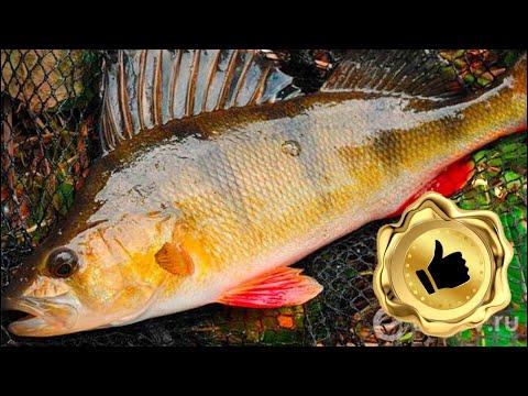 ОКУНЬ на КАМЫШ !!! удивительная рыбалка !!!