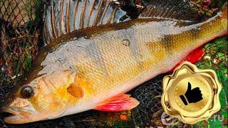 ОКУНЬ на КАМЫШ удивительная рыбалка