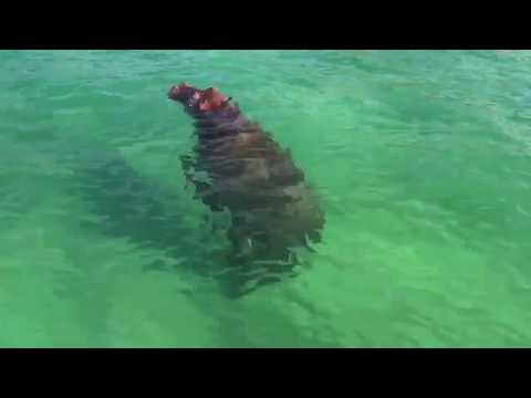 Hippo Enjoys Lockdown in Ponta do Ouro, Mozambique!