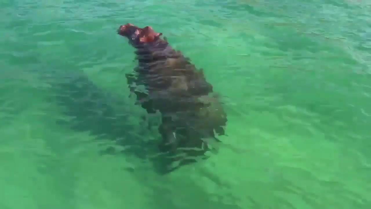 Hippo Enjoys Lockdown in Ponta do Ouro, Mozambique!