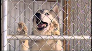 """Story Of Dominique Firetto And His Siberian Huskies """"les Tripeux By Real Béland"""""""