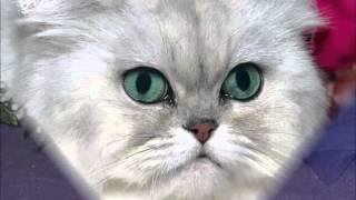 Персидская Шиншилла - необычайная красавица