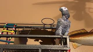 Funny parrot talking cute morning chatter  One smart parrot Kenya the African grey bird