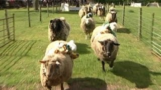 It's the biggest race of the livestock calendar, at Hoo Farm in Tel...
