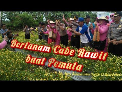 Budidaya Cabe Rawit Dewata & Dewata 43 F1 Untuk Pemula
