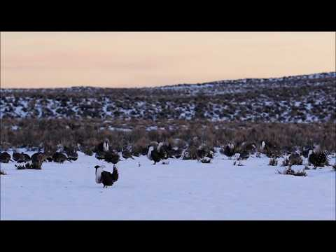 Busy morning on a greater sage-grouse lek