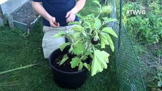 Harvesting Eggplants - Growing in Containers