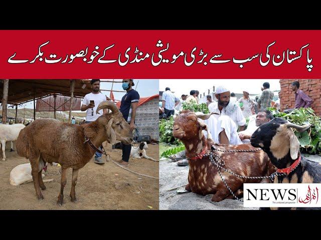 Beautiful Goats From Pakistan's Largest Cattle Market