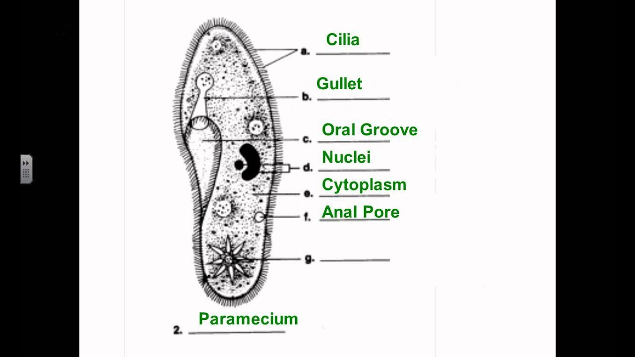amoeba cell diagram ww1 trench system sci 7 protist diagrams youtube