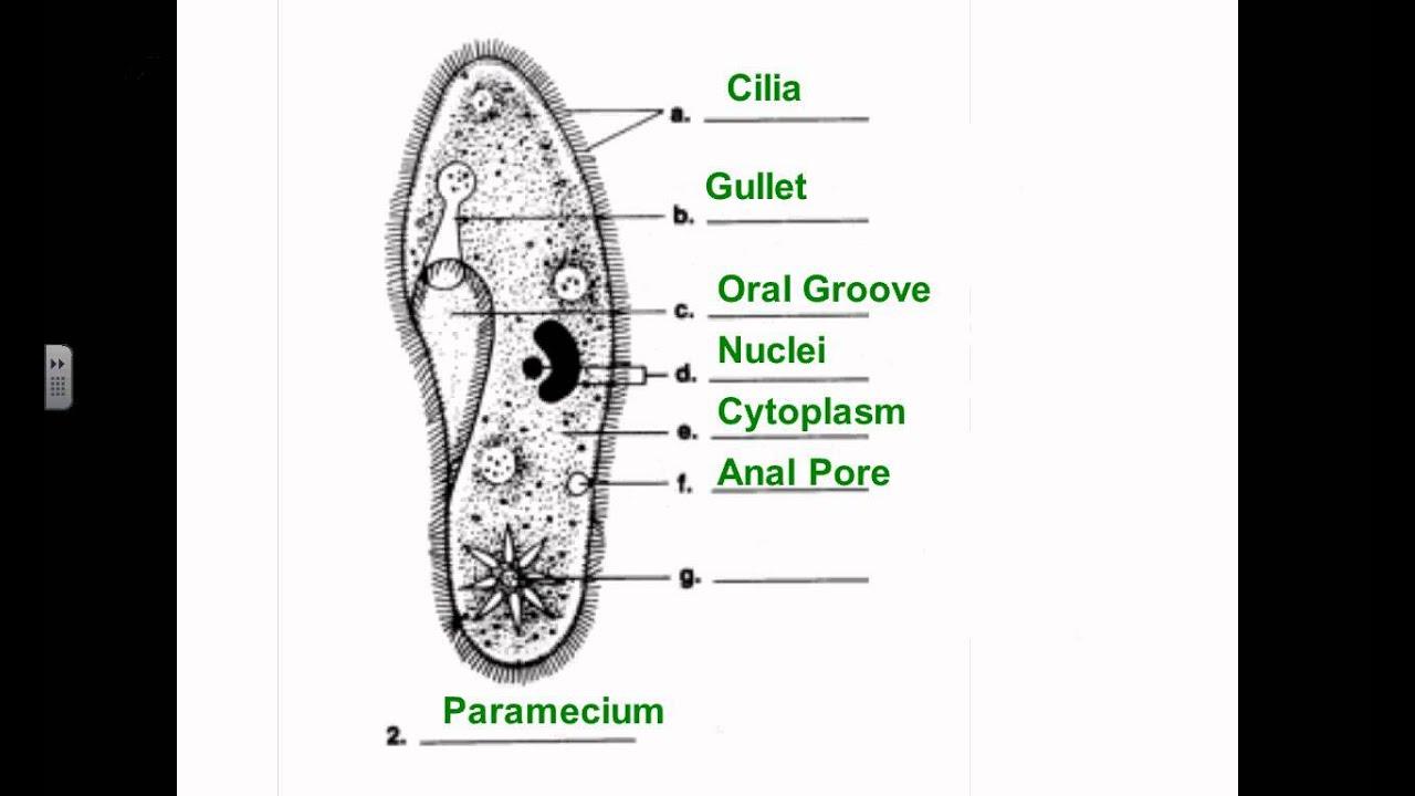 euglena diagram