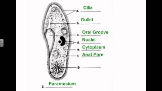 SCI 7 - Protist Diagrams