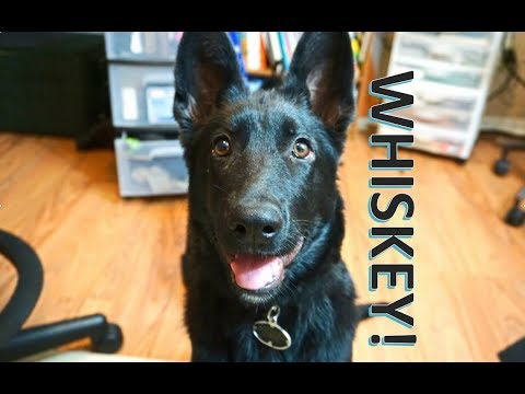 Whiskey: Day 1. German Shepherd Puppy Engagement With Luring And Focus