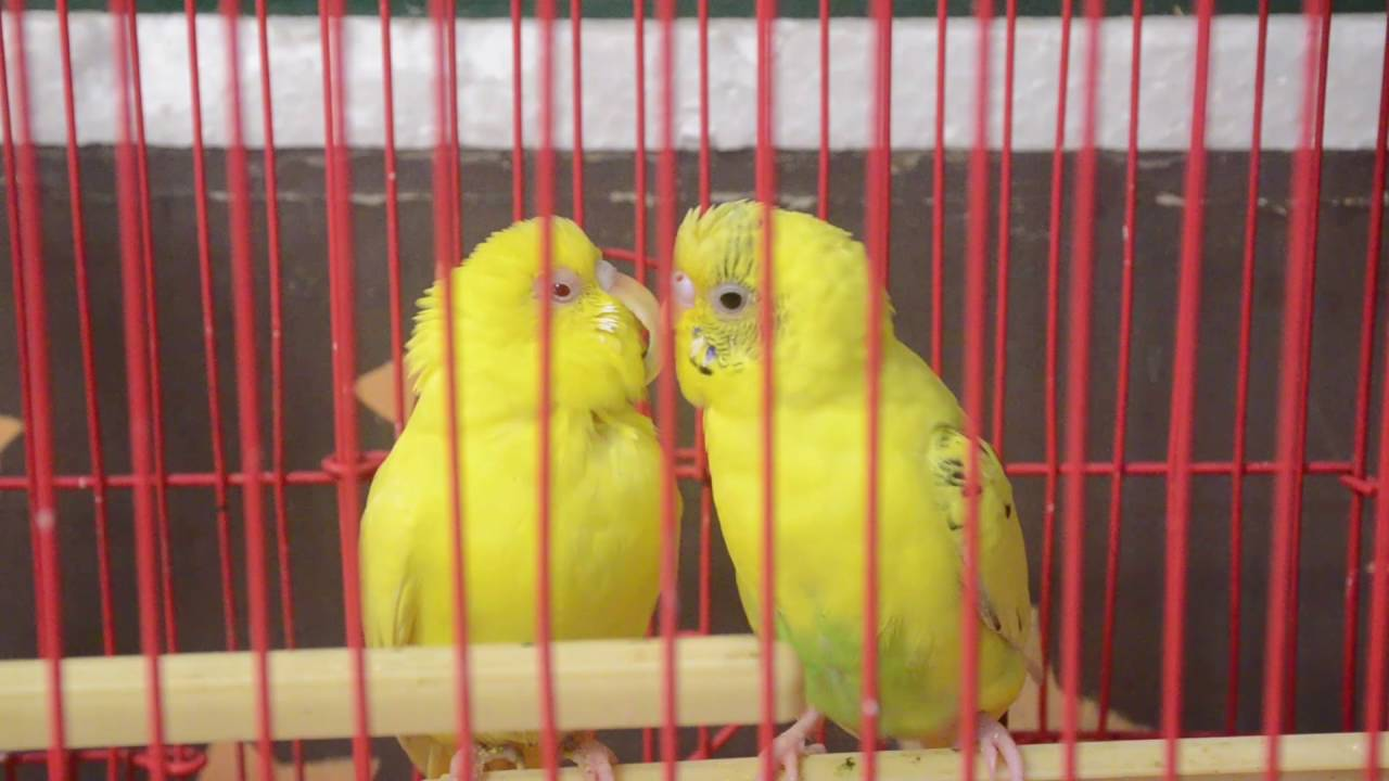 Love Bird Kiss Full Hd Video Youtube