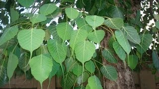 Benefits Of Worshiping Peepal Tree - Astrological Remedies by Jaideep Masand in Hindi