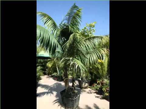 Full Grown Kentia Palm | House - Home Of Indoor & Office Plants Picture Collection