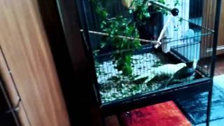 Moje papugi nimfy i ich wiosenne gody, czyli romeo wśród nimf