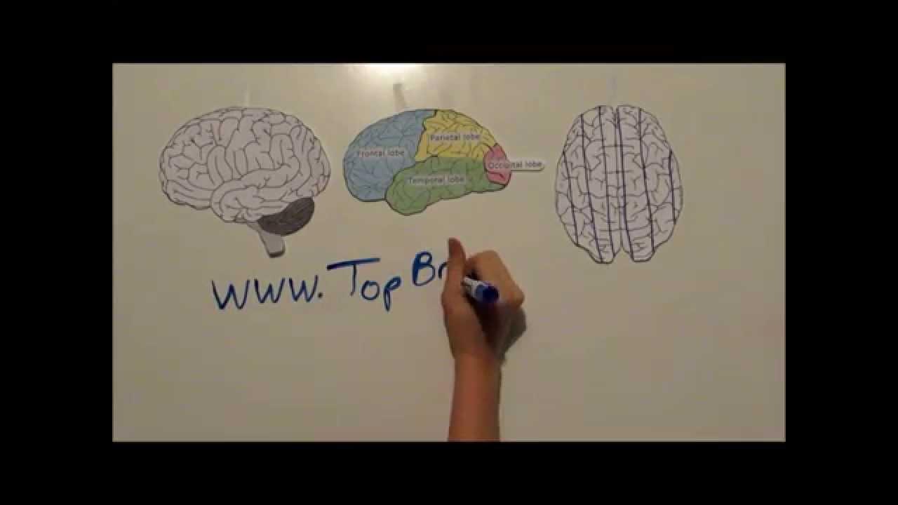 Top Brain Bottom Brain - YouTube