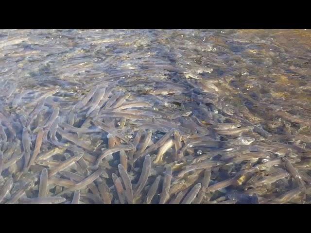 사람의 손길이 닿지 않은 깊은 산속 맑은 시냇물 물고기 떼 촬영