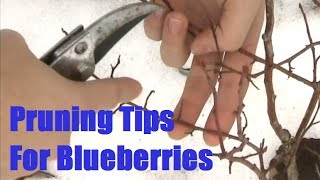Simple Pruning Tip for Blueberries