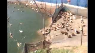 Duck farmer in kerala
