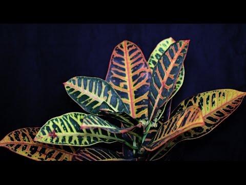 Codiaeum variegatum - Kroton, Croton