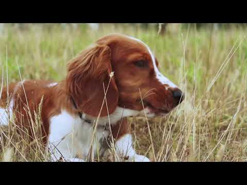 Welsh Springer Spaniel Puppy Trip