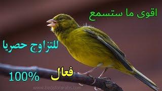 اقوى صوت كناري للتسميع و تهييج الذكور على التزاوج canary song training