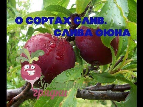 Сорта яблони, груши, вишни, сливы, смородины