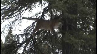 mountain lion bow hunt