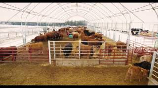 250 Hd Cow-Calf Barn w/ 250 Hd Backgrounding Barn