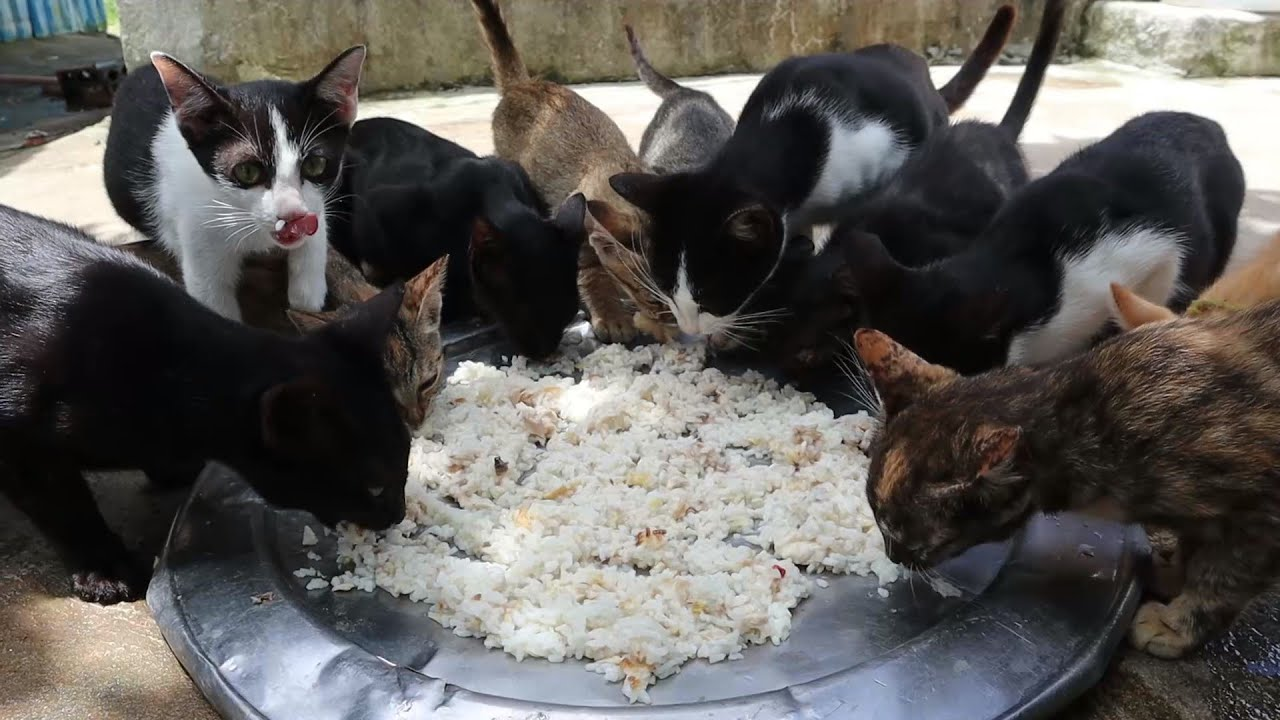Baby Kitten time to eating food   The Gohan Dog And Cats