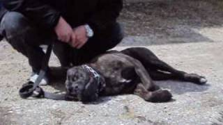 Dominant Cane Corso Pup Getting A 2nd Chance