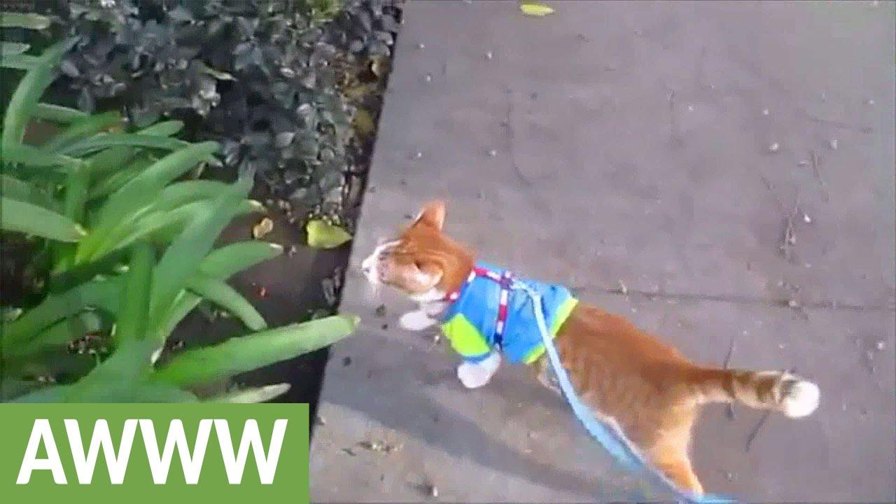 cat on a leash loves to go for walks youtube. Black Bedroom Furniture Sets. Home Design Ideas