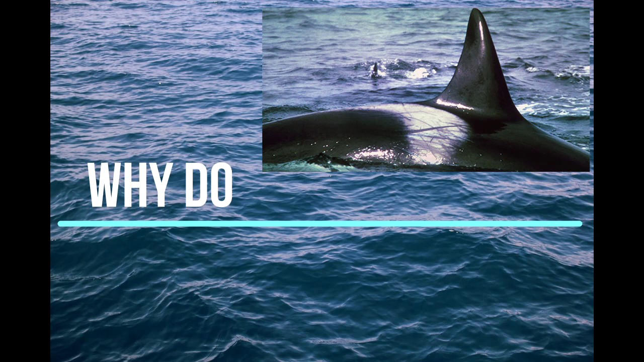Orca Anatomy Episode 1 - YouTube