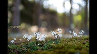 苔むした林床に、白く可憐な花が咲く。 バイカオウレン。植物が分類学者...